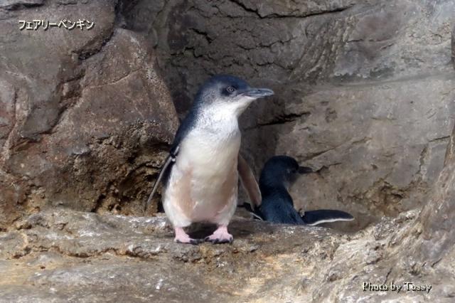 フェアりーペンギン