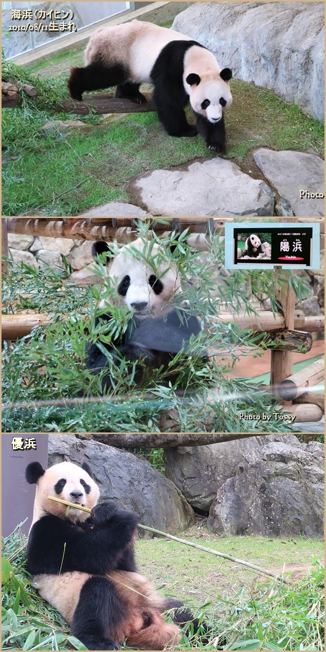 中国へ帰るパンダ