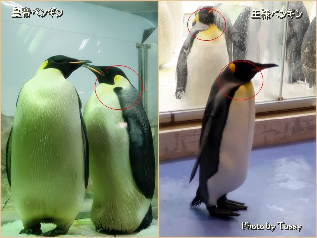 ペンギンの見分け方