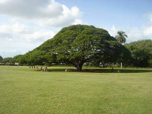 800px-Hitachis_tree by wiki