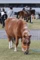170407 木曽馬&ミニチュアホース-03
