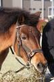 170407 木曽馬&ミニチュアホース-04