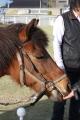 170407 木曽馬&ミニチュアホース-06
