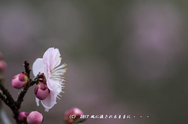 【2017年2月18日撮影】 和泉リサイクル環境公園 梅の花11