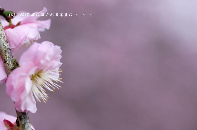 【2017年2月18日撮影】 和泉リサイクル環境公園 梅の花13