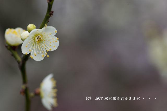 【2017年2月18日撮影】 和泉リサイクル環境公園 梅の花5