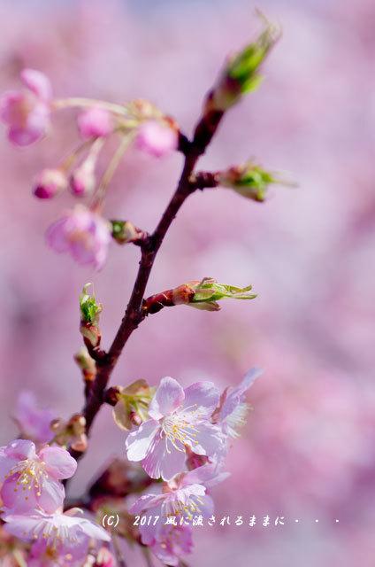 京都・淀水路に咲く河津桜と菜の花11