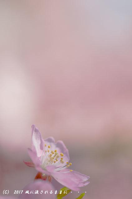 京都・淀水路に咲く河津桜と菜の花9