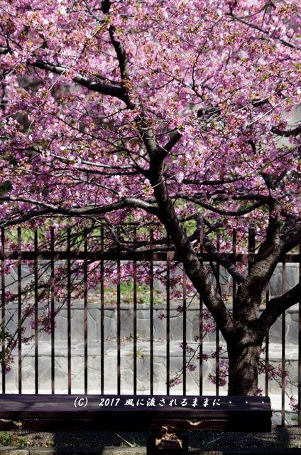 京都・淀水路に咲く河津桜と菜の花5
