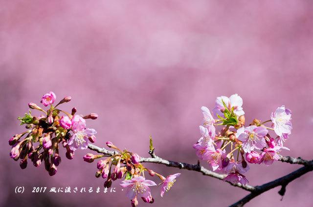 京都・淀水路に咲く河津桜と菜の花6