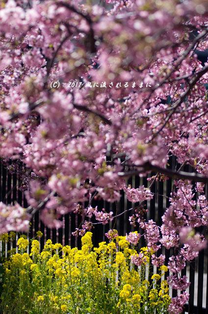 京都・淀水路に咲く河津桜と菜の花4