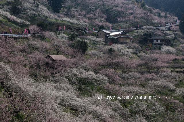 奈良の絶景! 賀名生梅林(あのうばいりん)の風景11