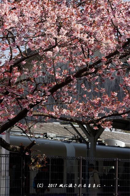 JR桃山駅で咲く早咲きの桜4