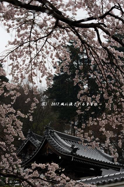 桜の情景 奈良・雨の九品寺の桜10