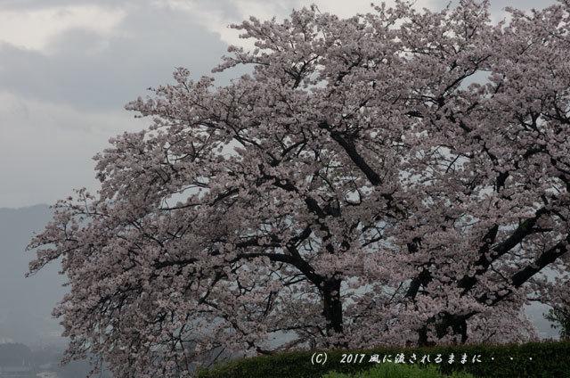 桜の情景 奈良・雨の九品寺の桜19