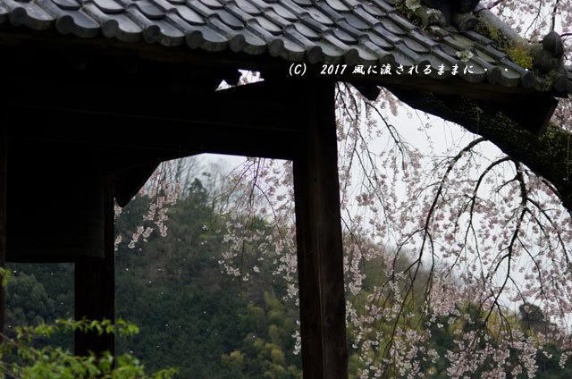 桜の情景 京都・地蔵禅院のしだれ桜4