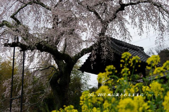 桜の情景 京都・地蔵禅院のしだれ桜8