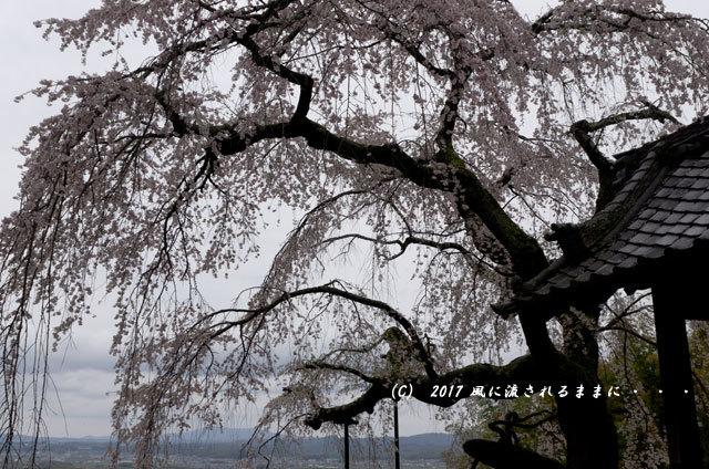桜の情景 京都・地蔵禅院のしだれ桜3