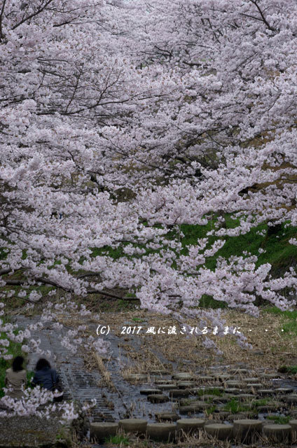 桜の情景 京都・玉川の桜並木5
