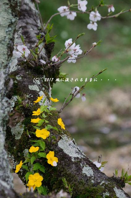 桜の情景 京都・玉川の桜並木7