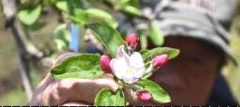 リンゴの花3651-340