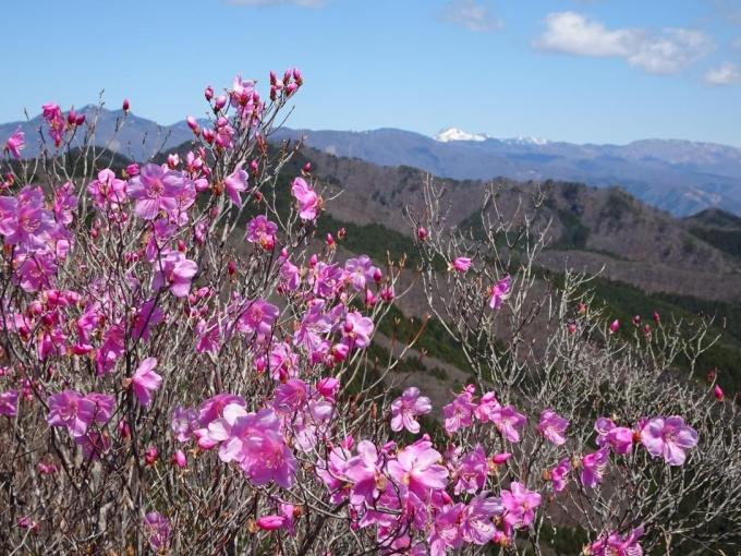 桐生岳のアカヤシオ