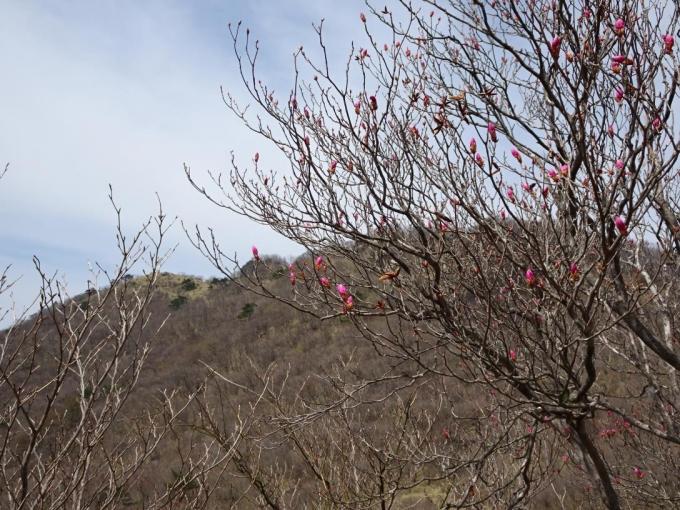 荒山高原のアカヤシオ3