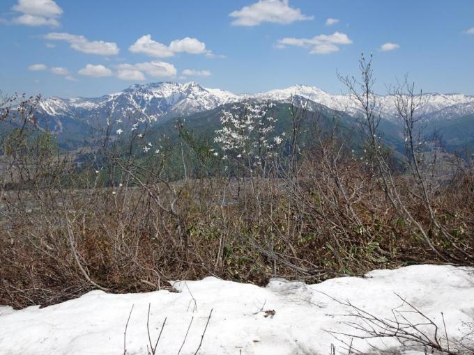 残雪、タムシバ、八海山