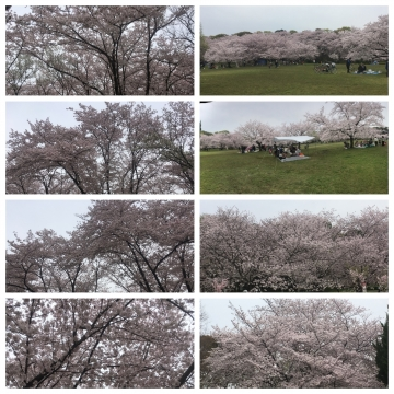 大泉緑地 桜