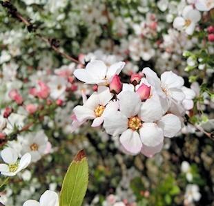 雪柳(フジノピンク)「つぼみ」がピンク色