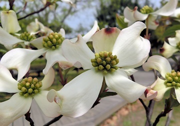 花水木 (2)