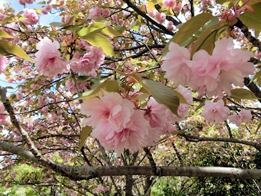 万葉サトザクラ(八重桜)