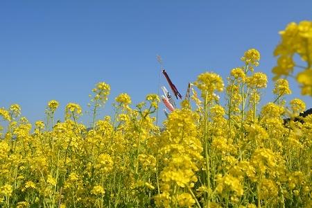 古賀菜の花①