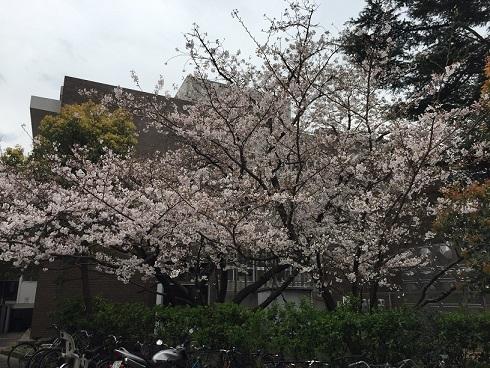 福岡の桜①