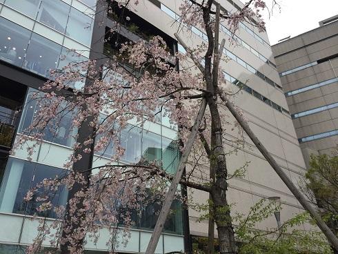 福岡の桜②