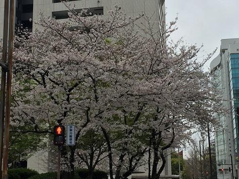 福岡の桜③