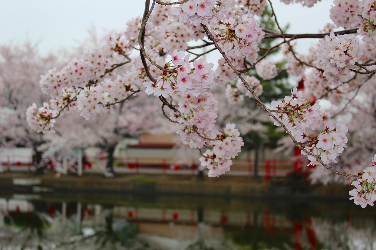 桜 白龍神社 (3)