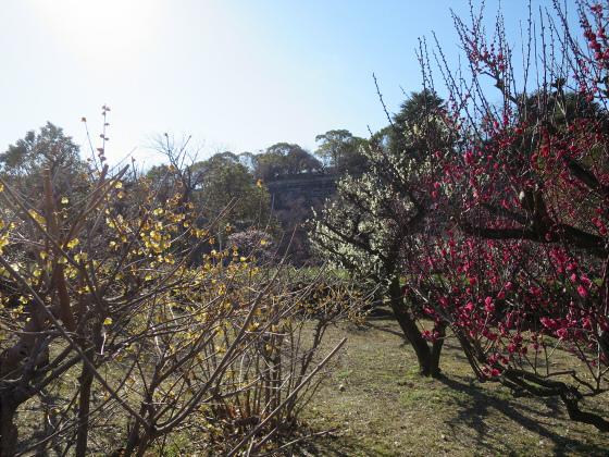 大阪城公園梅林2017-12