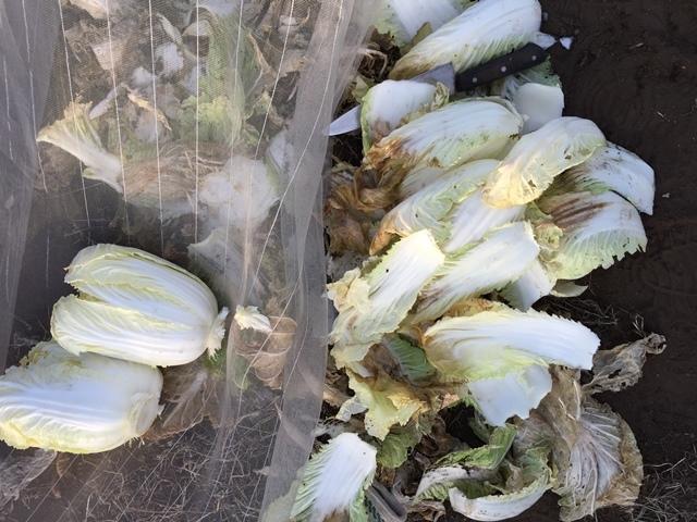葉を剥けばきれいな白菜が