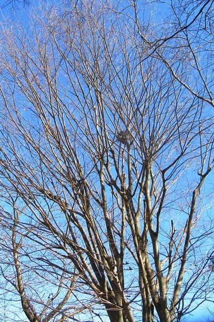 高木の上のカラスの巣