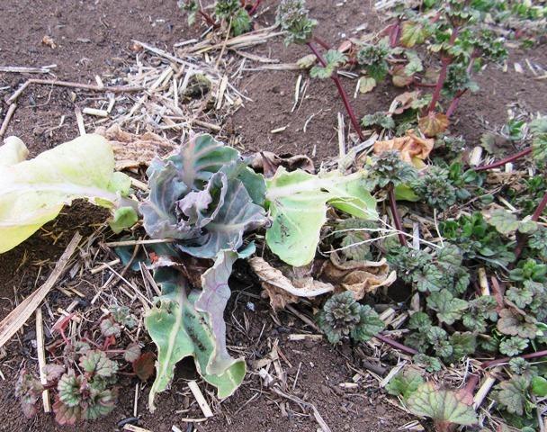葉が食べられたキャベツ