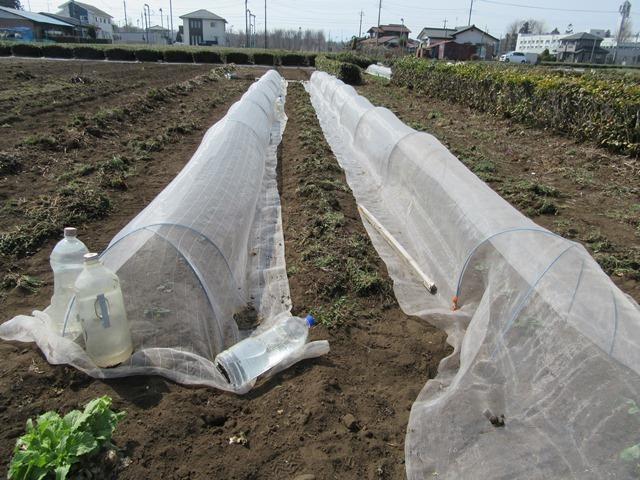 イチゴ畑の虫よけシート