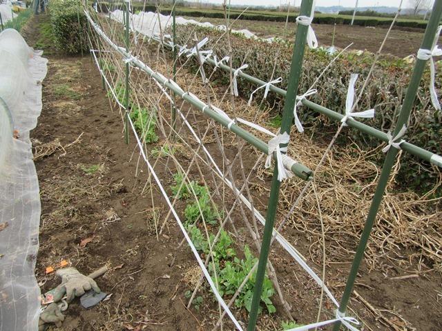 エンドウ豆の柵作り