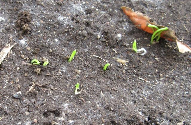長ネギの発芽
