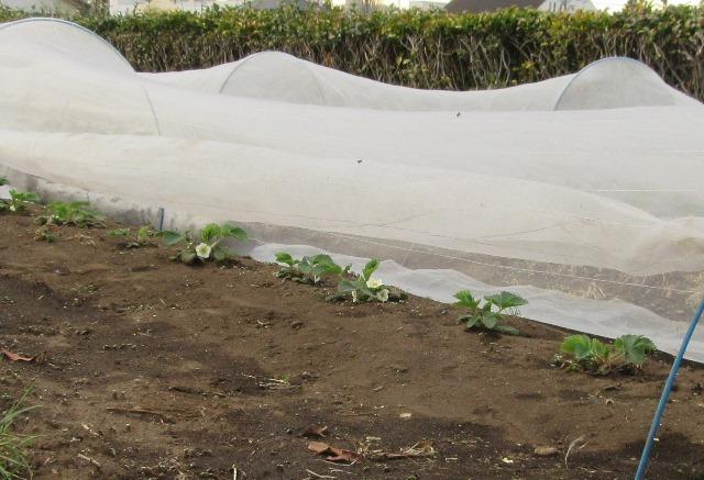 イチゴ畑:受粉のため虫よけシートは1/3ばかり開けている