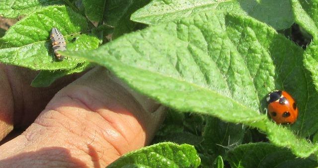 テントウムシの幼虫と成虫
