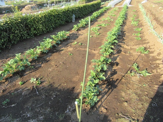 芽欠き後のジャガイモ畑
