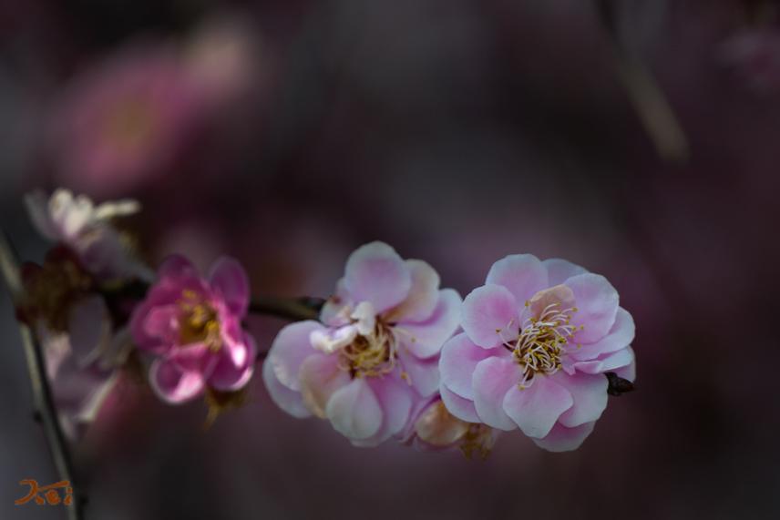 20170311梅_みかも万葉庭園10