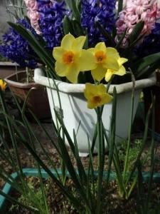 黄色の水仙1