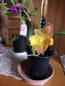 黄色のミニカトレア
